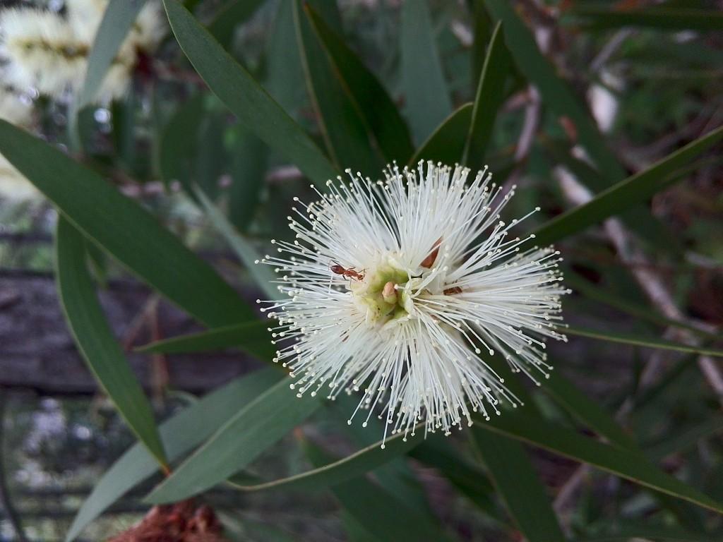 小螞蟻Kiss Flower