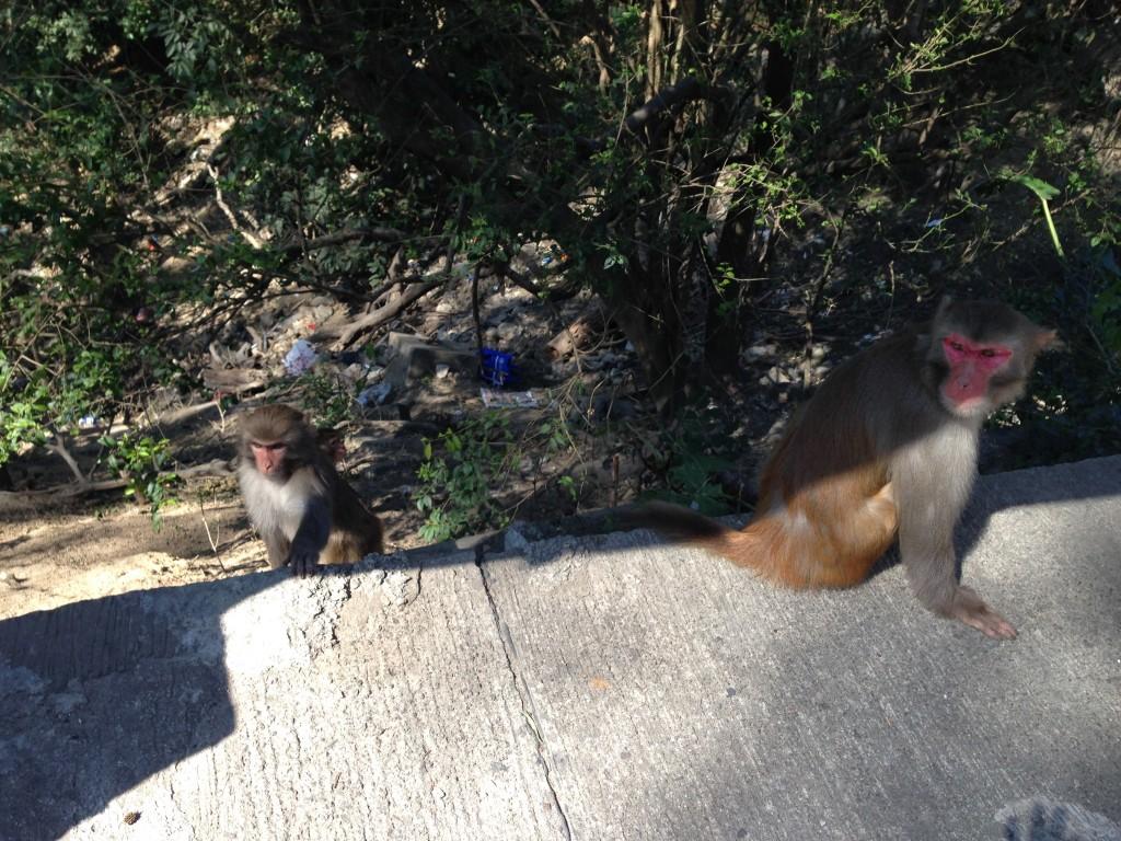 路上的猴子