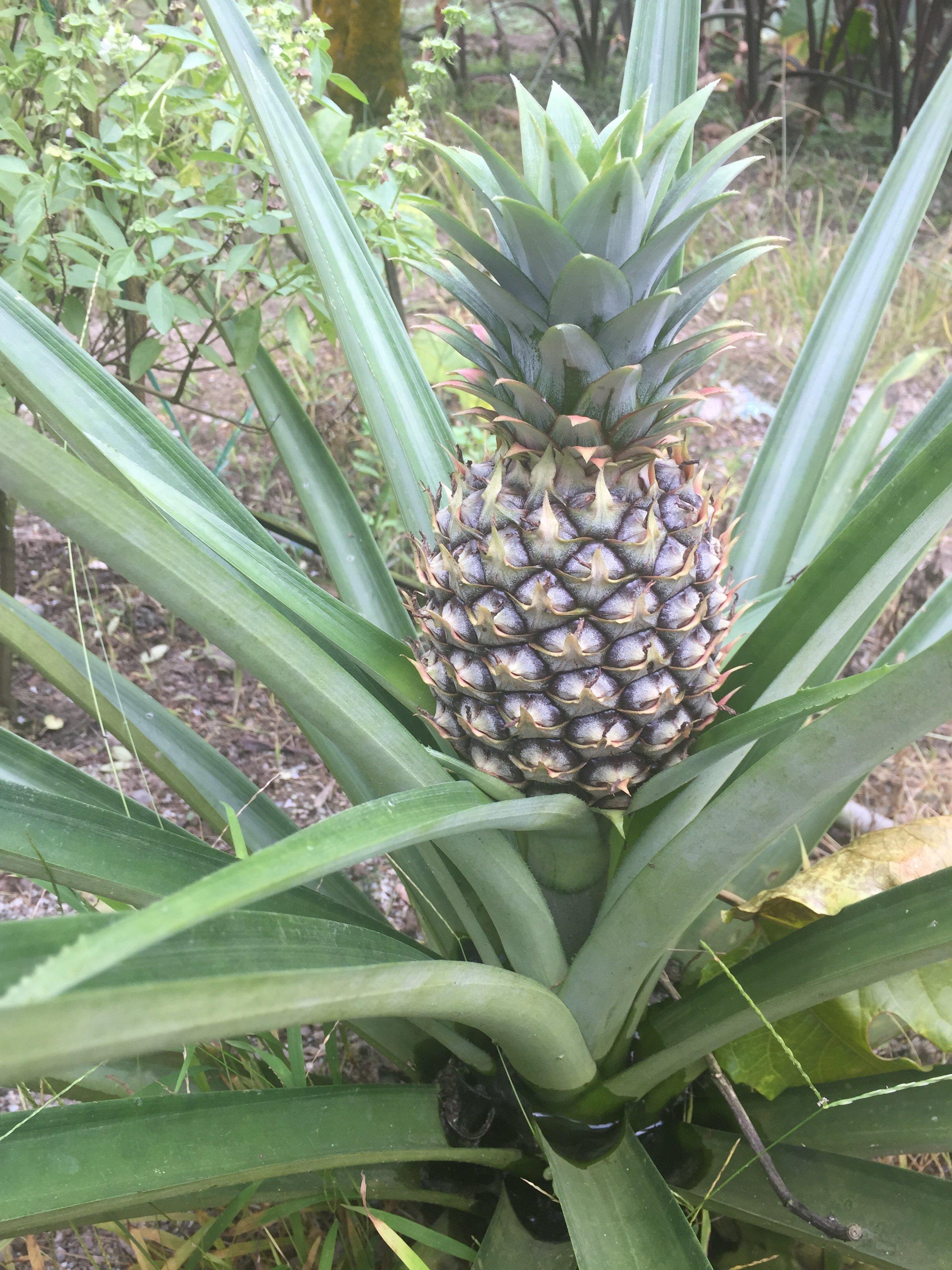 菠蘿本來是這樣的